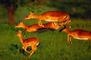 When on a trip to one of my favorite locations, Kenya's Masai Mara National Reserve, I spotted a herd of sprinting impala. I initiated the autofocus on my Canon EF 600mm lens  and panned with the movement of the animals. To my amazement, I was able to get several sharply focused frames. In this shot of four impala, only one hoof is touching the ground.
